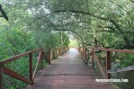 Hutan Mangrove Jembatan Cinta Batu Karas Pangandaran (7)